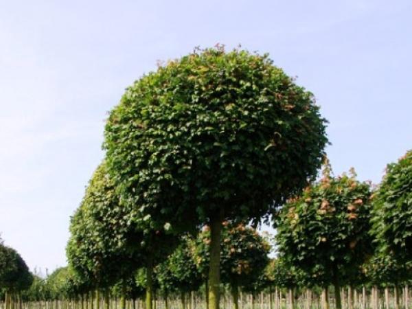 Растения из Европы. Питомник Neumann